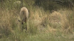 P02023 Elk Feeding by Creek at Rocky Mountain National Park Stock Footage