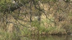 P02020 Coyote Hunting at Rocky Mountain National Park Stock Footage