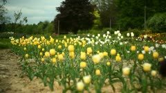 A field of tulips Stock Footage