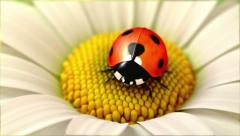 Daisy flower with a ladybird (version with a swinging  flower) - stock footage