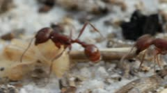 Fire ant transporting larvae Stock Footage