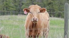 Brown Cow at Farm Fence - stock footage