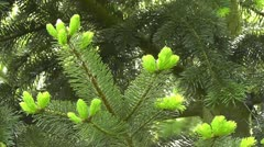 Young shoots - fir - Abies Stock Footage