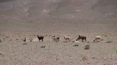 Chile Atacama llamas graze in taupe desert 5 Stock Footage