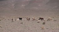 Stock Video Footage of Chile Atacama llamas graze in taupe desert 5