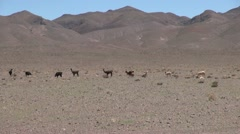 Chile Atacama llamas lined up in front of mauve hills 5 Stock Footage