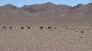 Stock Video Footage of Chile Atacama llamas lined up in front of mauve hills 5