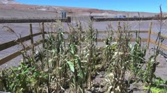 Chile Atacama struggling corn crop 2 Stock Footage