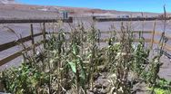 Stock Video Footage of Chile Atacama struggling corn crop 2