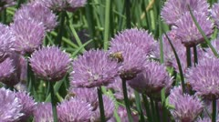 Honey bees foraging Stock Footage