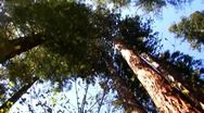 Stock Video Footage of POV Walking Under Sequoias At Calaveras Big Trees Park 1