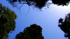 Sequoia Trees At Calaveras Big Trees State Park Tilt Down Stock Footage