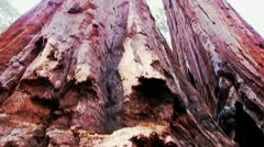 Sequoia Trees At Calaveras Big Trees State Park- Low Angle Pan Stock Footage