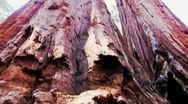 Stock Video Footage of Sequoia Trees At Calaveras Big Trees State Park Tilt Up 3
