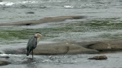 Blue heron standing in shallow water on river rock Stock Footage