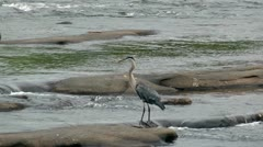 Blue heron staning on rocks in swift flowing river Stock Footage