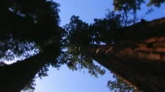 Slow Spin Under Sequoia Trees At Calaveras Big Trees State Park Stock Footage