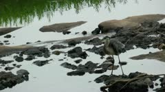 Blue heron walking on walks and in shallow water Stock Footage