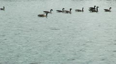 Flock of canadian geese swimming - hd - 1920x1080 Stock Footage
