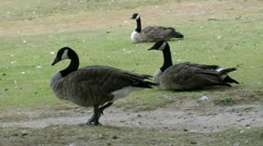 hd closeup of two sitting and one standing canadian geese - 1920x1080 - stock footage