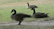 Stock Video Footage of hd closeup of two sitting and one standing canadian geese - 1920x1080