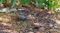 2 Mourning Morning Doves Foraging For Food Stock Footage
