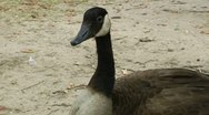 Stock Video Footage of sitting goose closeup