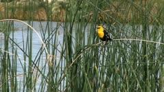 Yellow-Headed Blackbird on Reeds to Flight Stock Footage
