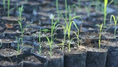 Crop plants into nursery black bags planted seedlings of the plant. Stock Footage