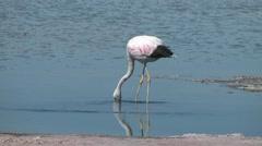 Atacama flamingo feeding in a salty pool Stock Footage