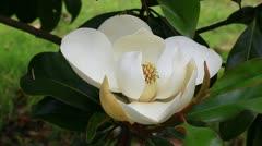 Southern magnolia flower macro Stock Footage