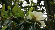 Magnolia tree Stock Footage