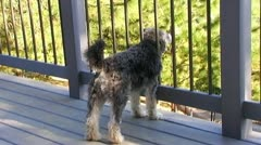 Schnauzer Dog Looking Off Deck, Comes To Camera 2 Stock Footage