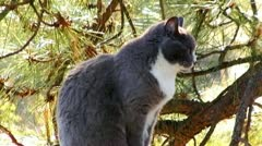 Sitting Cat With Pine Tree Background Looks Around Stock Footage