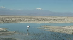 Chile Atacama Laguna Chaxa neck in shallow water 9 Stock Footage