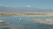 Stock Video Footage of Chile Atacama Laguna Chaxa neck in shallow water 9