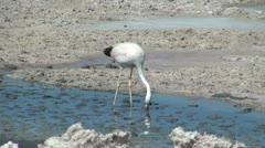 Atacama Laguna de Chaxa flamingo feeds Stock Footage