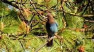 Stock Video Footage of Stellar's Jay With Pine Tree Backround SloMo