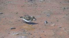 Chile Atacama Laguna Chaxa wading bird probes 20 Stock Footage