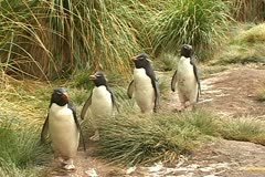 Penguins line Stock Footage