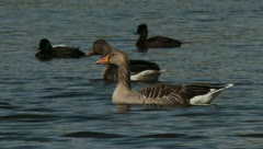 Geese and ducks Stock Footage