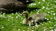 Baby goose resting amongst daisy flowers Stock Footage