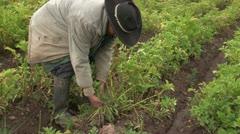 Peru: Farmer works in His Potato Field Stock Footage