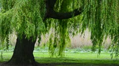 Wind in the willows Stock Footage