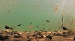 Tadpole in a lake during springtime in Sweden, underwater shoot - stock footage