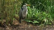 Grey heron - ardea cinerea - blauwe reiger standing on the bank of a pond 04p Stock Footage