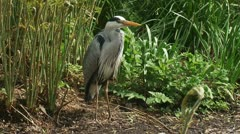 Grey heron - ardea cinerea - blauwe reiger standing on the bank of a pond 06p Stock Footage