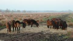 Horses grazing hay - stock footage