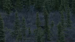 Black Bear Walking in Dark Yukon Territory Forest Stock Footage