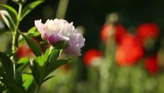 HD Peony and poppies in the Garden with Birds Sounds Stock Footage